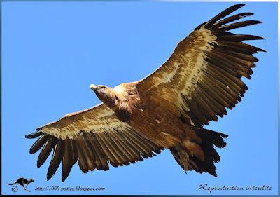 http://1000-pattes.blogspot.fr/2012/07/le-vautour-fauve-gyps-fulvus.html