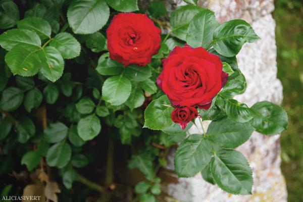 aliciasivert, alicia sivertsson, frankrike, france, normandy, normandie, garden, trädgård, rose, roses