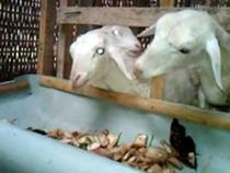 Ternak kambing tanpa ngarit, makan gedebog pisang Mitra HCS Batang Jawa Tengah - YouTube