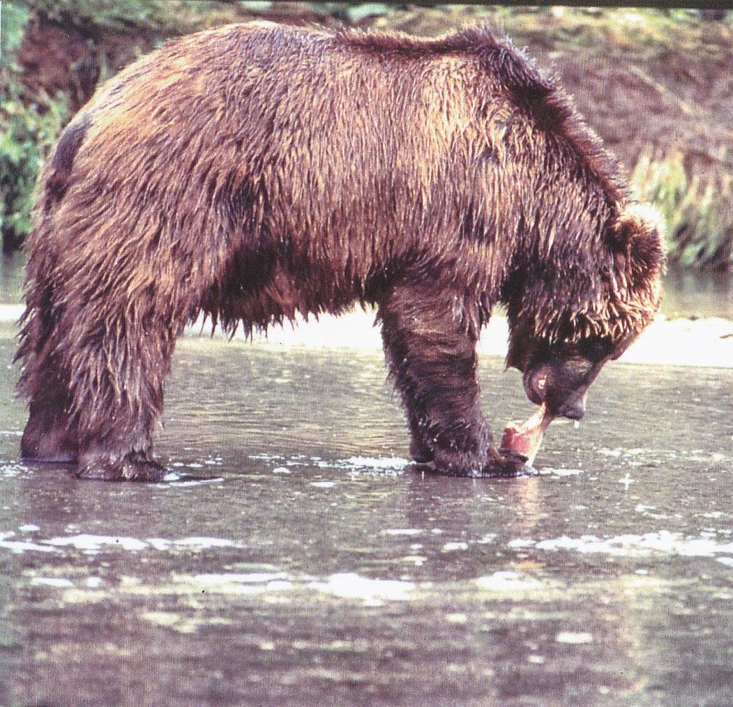 Brown Bear Facts For Kids | Brown Bear Habitat & Diet