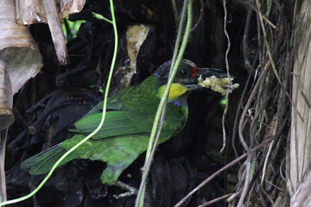 Barbet Eating Banana at ISO 2500