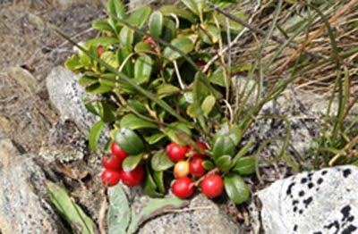 Vaccinium vitis-idaea (Mirtillo rosso)