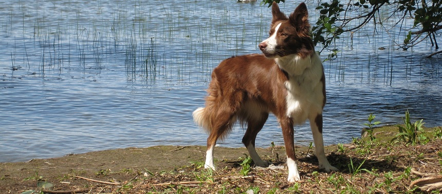 Min Border Collie Pebbels
