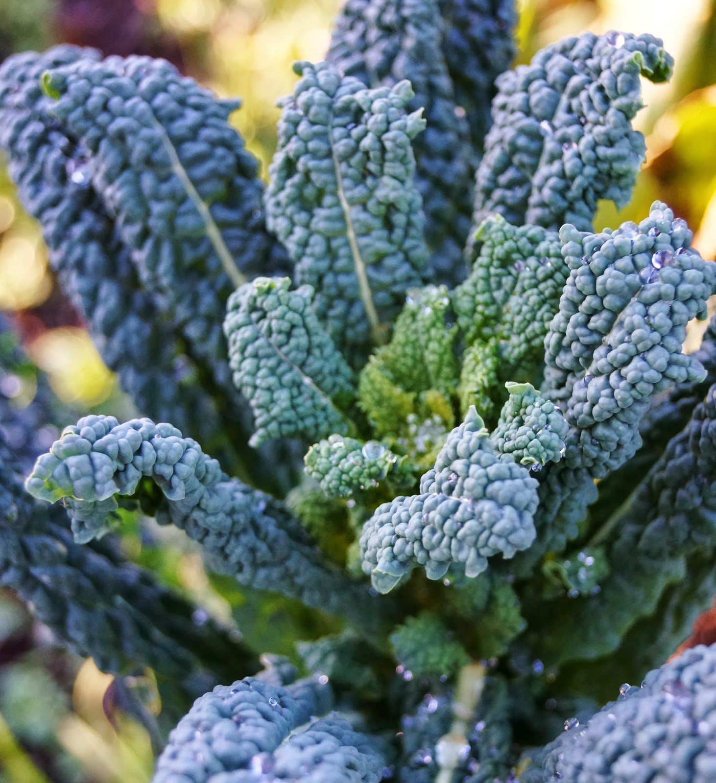 More yummy healthy Kale - 'Grow Our Own' Allotment Blog