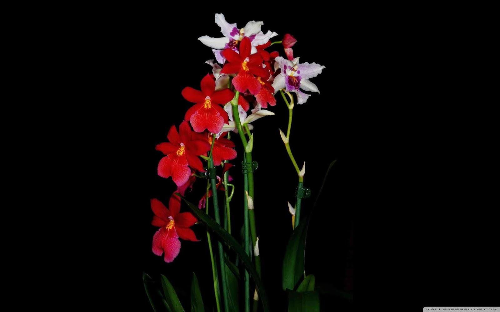 cambria orchids wallpaper