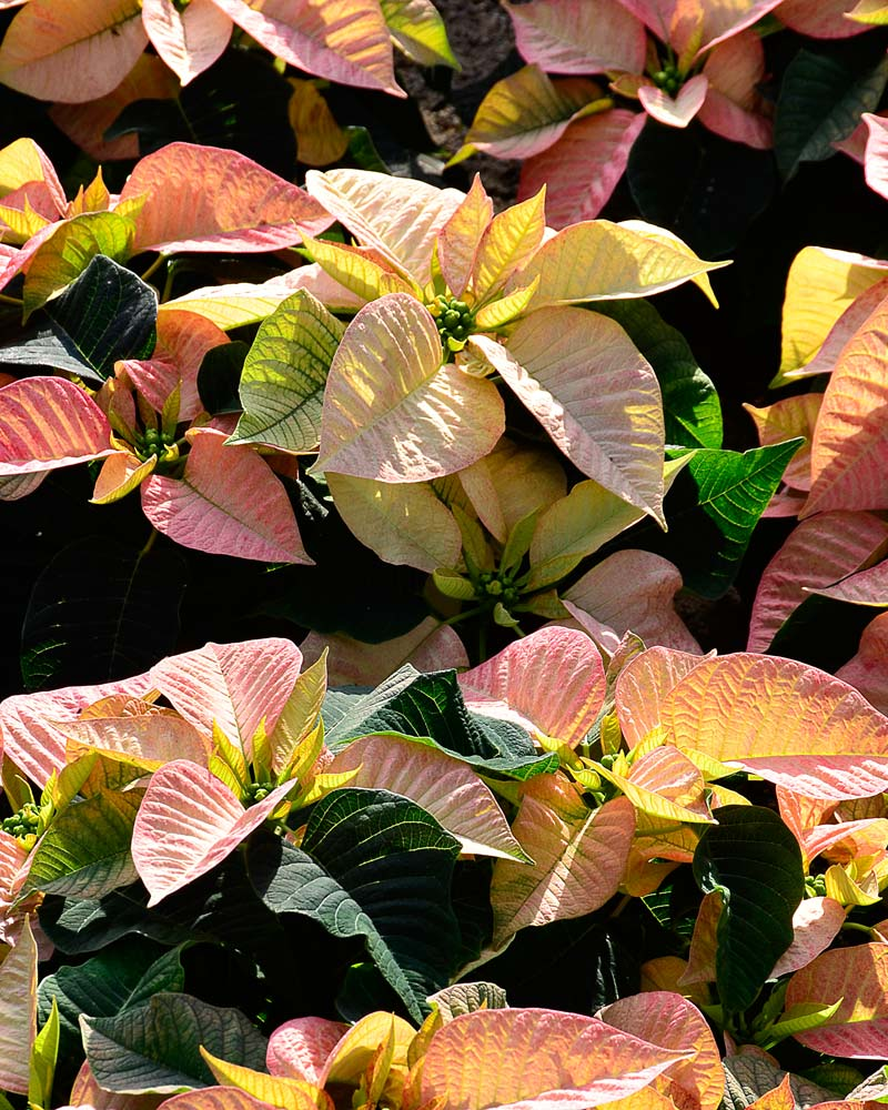 Poinsettia variety Monet