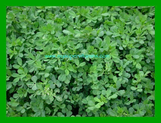 Daun Alfalfa- sumber Herb Lax Shaklee