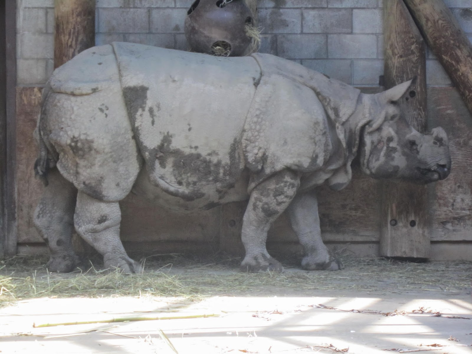 Indian rhinoceros, zoo, Toronto Zoo, animals, animal photography