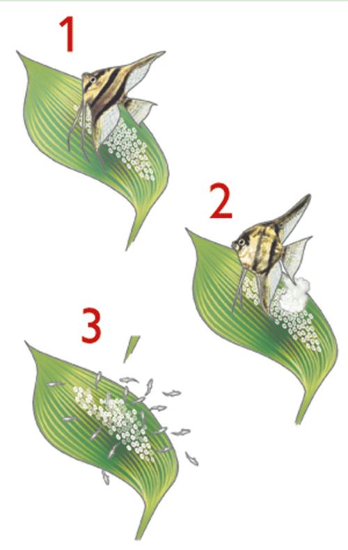 La metamorfosis en los anfibios for La reproduccion de los peces