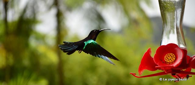 Martinique - jardin de Balata - colibri