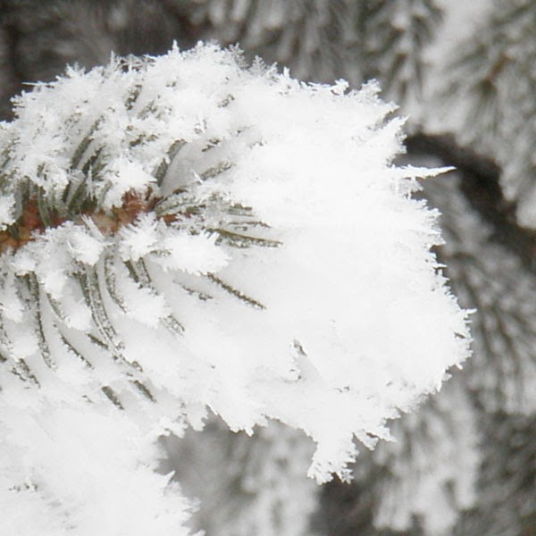 Snow Covered Pine Needles - Snow Photograph
