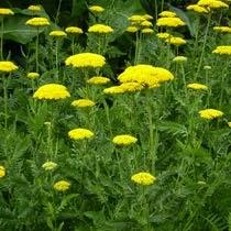 Piante e fiori piante perenni che fioriscono in estate a for Fiori perenni pieno sole