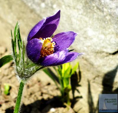 floare mov gradina botanica bucuresti