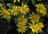 Лекарственное растение арника горная