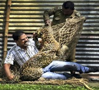 macan tutul menyerang 13 korban
