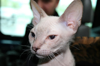 gambar kucing don sphynx