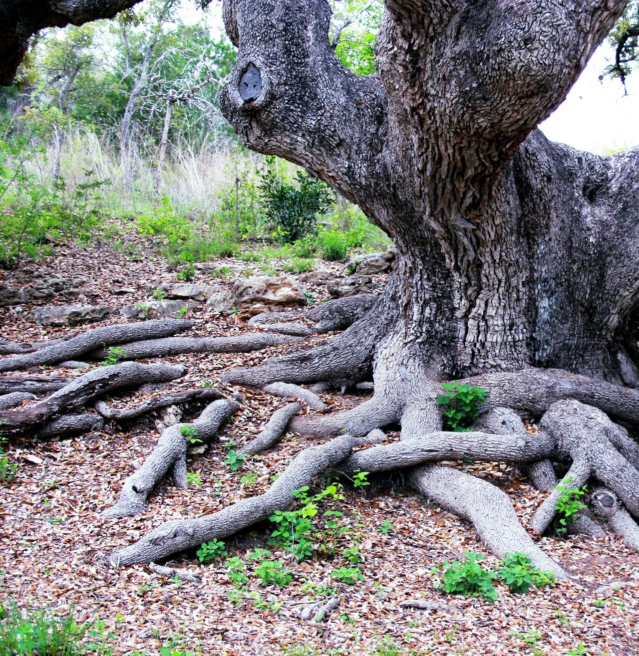 Oak Tree With Roots From the Canyon Edge: ...