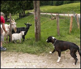 Ziegen und Hund