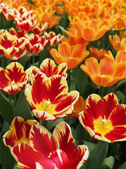 Tulips Tulipmania Singapore