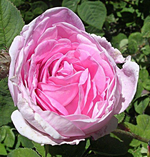 Garden Roses Flower Petal: Flowerpedia: Intoxicating Fragranced Roses