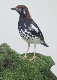 Singing Bird Collection Zoothera Interpres Punglor Kembang