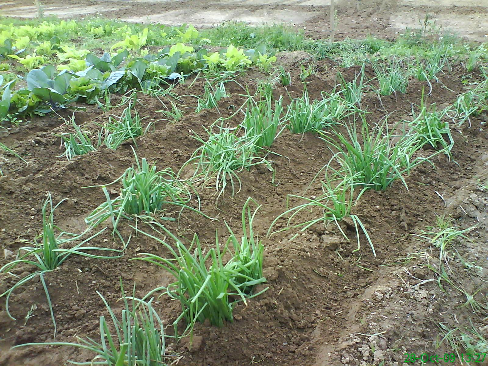 Ecoplantem el huerto de oto o invierno for Preparar el huerto en invierno