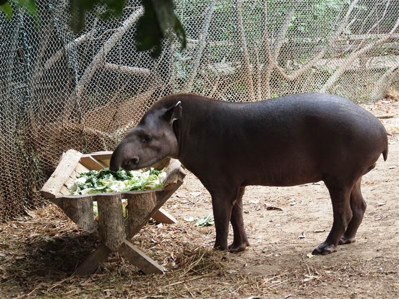 Tapir del Oriente