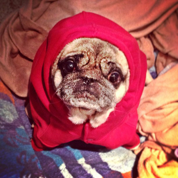 dog in clothes, pug in a sweatshirt