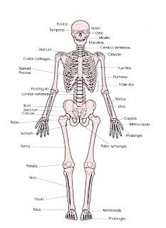 Struktur dan Fungsi Rangka Tubuh Manusia