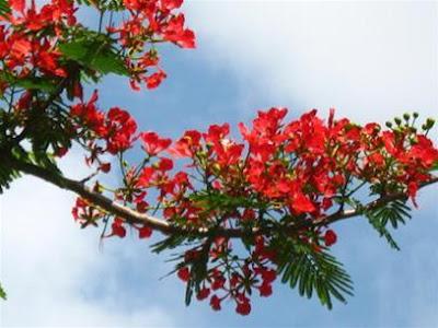 Hoa phượng khoe sắc thắm trên bầu trời
