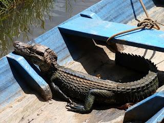 Alligator/