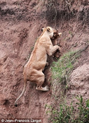 leona salva a cachorro que cayo en acantilado