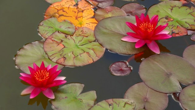 lilies, couple, water Desktop Full HD Wallpaper Download