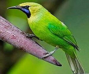 Burung Cucak Ijo Jantan Harga Terbaru
