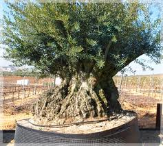 Primeros pasos en primaria bonsai y haya - Bonsai de haya ...