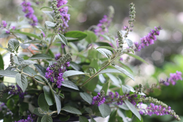 Lo & Behold 'Blue Chip Jr.' butterfly bush from Proven Winners