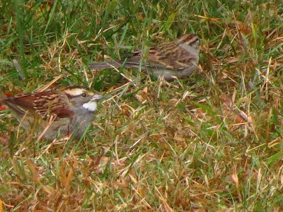 two white throated sparrows