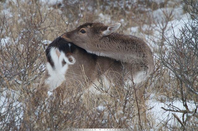 Damhert poetst vacht - Fallow Deer cleans its fur - Dama dama