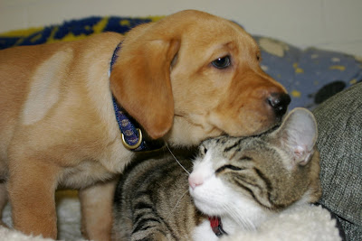 A yellow labrador retriever rests his head on George the Cat