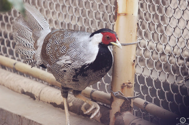 Lineated Kalij Pheasant By Shashank Mittal Photography, Lineated Kalij Pheasant, Shashank Mittal Photography, Pheasant, Shashank Mittal Photography, Shashank Mittal, Photography, Shashank, Mittal, Photography,