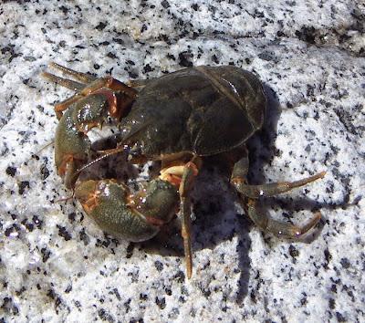 patagonian freshwater crab