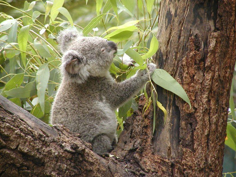 10 Things You Didnt Know About Koalas  Mental Floss