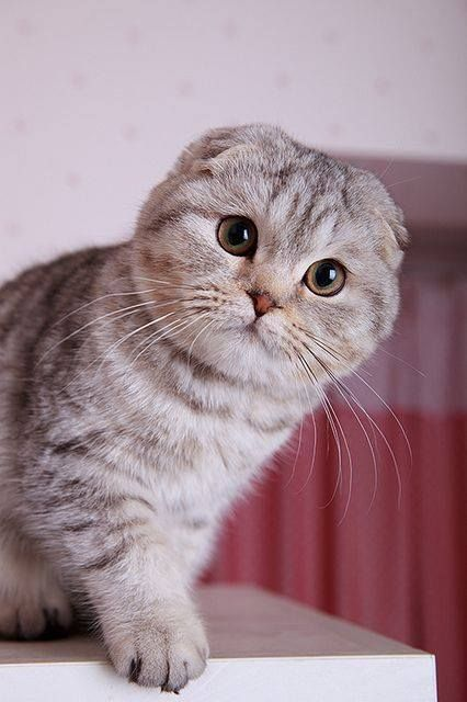 Top 10 most expensive Cat Breeds