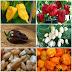 Color Blend Habanero Pepper Seeds #Organic_Gardening