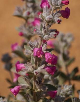 Native Foxglove (Dasymalla terminalis)