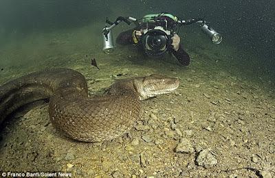 Inilah Ular Anaconda Raksasa Di Hutan Amazon Brazil