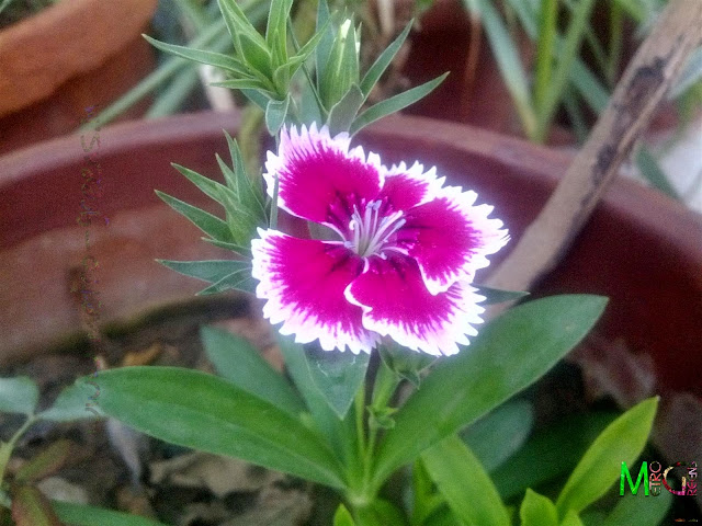 Dianthus Bloom