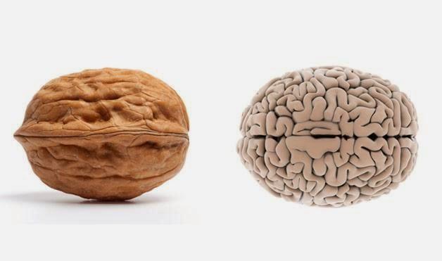 Buah Kenari dan Otak