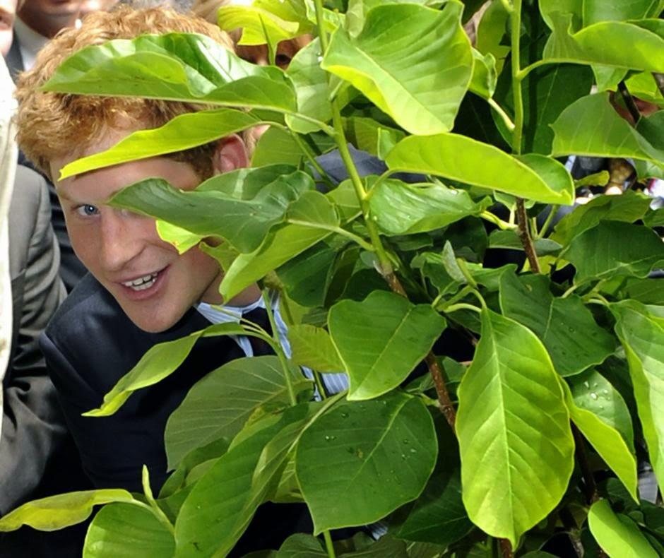 принц Гарри выглядывает из-за листьев магнолии, которую посадил во время акции проекта «Million Trees NYC» в Британских Садах на Гановер-сквер в Нью-Йорке.