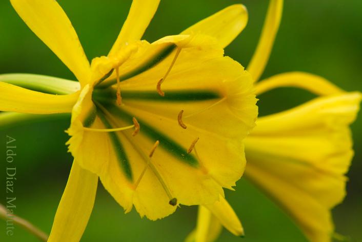 Flores de per flor de amancaes for Plantas ornamentales del peru
